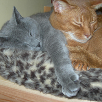 RACCS breeds cuddled up together - Russian Blue and Sorrel Abyssinian